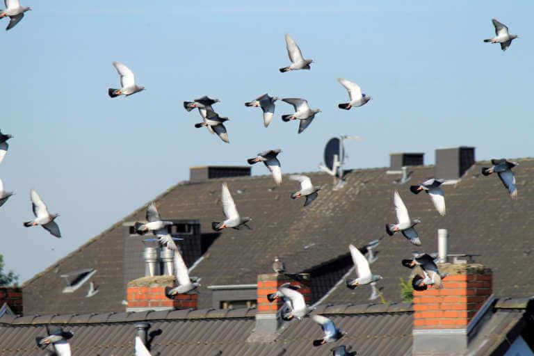 Durchführung und Zuständigkeiten der Taubenabwehr