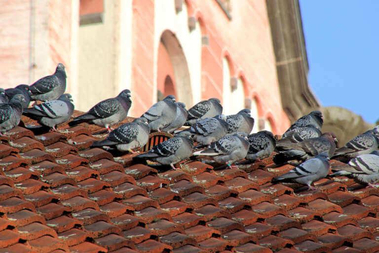 Wissenswertes, über Tauben und Taubenkot